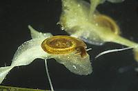 Little Whirlpool Ramshorn Snail - Anisus vorticulus