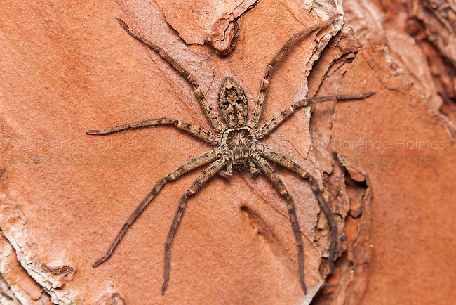A male Huntsman Spider (Heteropoda venatoria) perches on the trunk of a pine tree, Highlands Hammock State Park, Sebring, Florida.