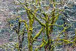 Bigleaf maples (Acer macrophyllum), Columbia River Gorge, Oregon, USA<br /> <br /> Canon EOS 5DS R, EF100-400mm f/4.5-5.6L IS II USM lens, f/16 for 1.3 seconds, ISO 100