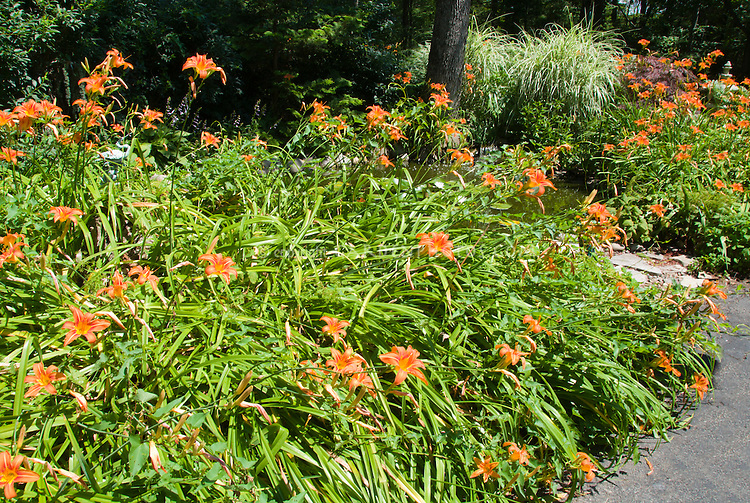 Hemerocallis fulva, orange daylilies daylily perennial blooming in summer, in mass, with Miscanthus ornamental grass, stone garden path