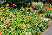 Hemerocallis fulva, orange daylilies daylily perennial blooming in summer, in mass, with Miscanthus ornamental grass, stone garden path