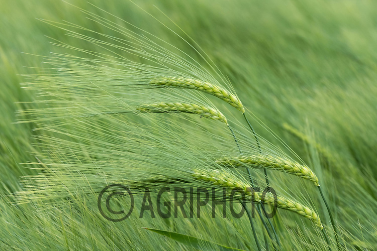 Winter barley coming into ear<br /> ©Tim Scrivener Photographer 07850 303986<br /> ....Covering Agriculture In The UK....