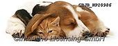 Kim, ANIMALS, REALISTISCHE TIERE, ANIMALES REALISTICOS, fondless, photos,+Ginger kitten under the ear of a sleeping Basset pup.,sleepy, sleeping, asleep, tired, nap, naps, napping, pooped, doze, dozi+ng, dozy, kip, kipping, ginger, kitten, under, the, ear, of, basset, pup, cats, pets, animals, dogs, shorthair, kittens, cute+adorable, lovely,lovable, puppies, pups++,GBJBWP10986,#a#, EVERYDAY