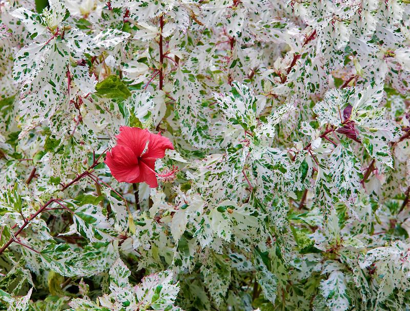 Red hybiscus at Klahuna Plantation Gardens. Kauai, Hawaii