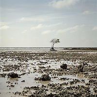 A mangrove tree stands alone where many others used to stand around it. With rising sea levels, saltwater comes onto the islands and destroys vegetation and tree life.