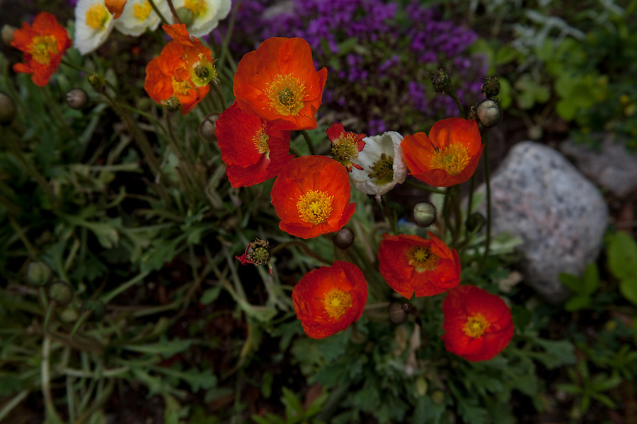 Red or orange flowers, papavier or better known as poppies