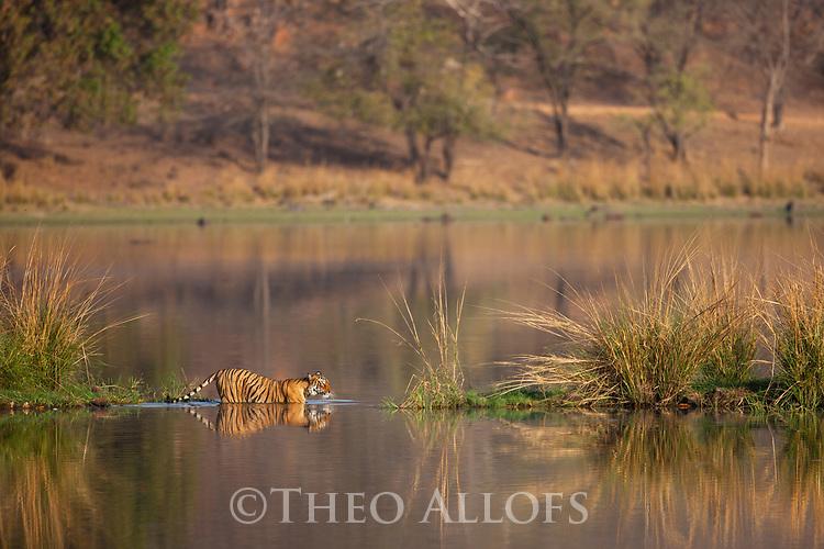 India, Rajasthan, Ranthambhore National Park, Bengal tigress swimming in lake