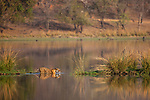 India, Rajasthan, Ranthambhore National Park, Bengal tigress swimming in lake