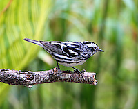 Male black and white warbler