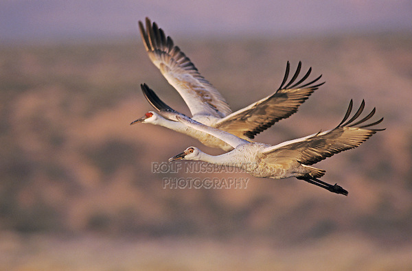 Sandhill Crane, Grus canadensis, adult and young in flight, Bosque del Apache National Wildlife Refuge , New Mexico, USA