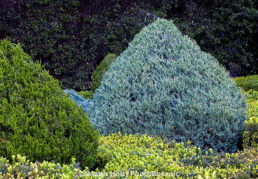 Juniperus chinensis 'Hetzii Glauca',  Chinese juniper, gray foliage evergreen shrub pruned into cone; Leaning Pine Arboretum, California garden