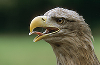 Seeadler, rufend, Portrait, See-Adler, Haliaeetus albicilla, white-tailed eagle, Adler,