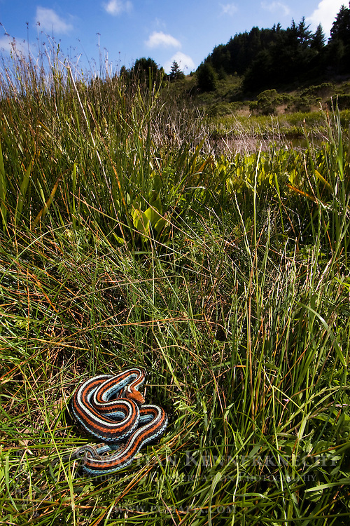 San Francisco Garter Snake (Thamnophis sirtalis tetrataenia) female basking on pond reeds, Pescadero, California