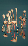 Greater Flamingo, Phoenicopterus ruber, Camargue, Southern France, reflection, wetland bird, feeding, lagoon filter feeder, Arles, Marseille Provence, Ornithology, conservation, tourist attraction, pink, blue.France....