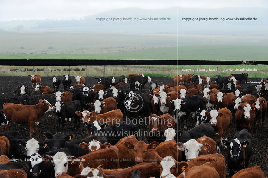 URUGUAY , Treinta y Tres, cattle breeding for meat export, feedlock with maize fodder / Rinderzucht fuer Fleischexport