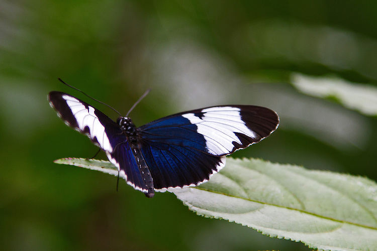 A Sapho Longwing, sitting on a light green leaf in full Dorsal view, showing off its bright blue and white markings