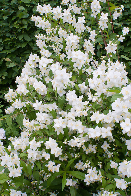 Philadelphus coronarius shrub in white spring fragrant bloom, single flowered mockorange bush