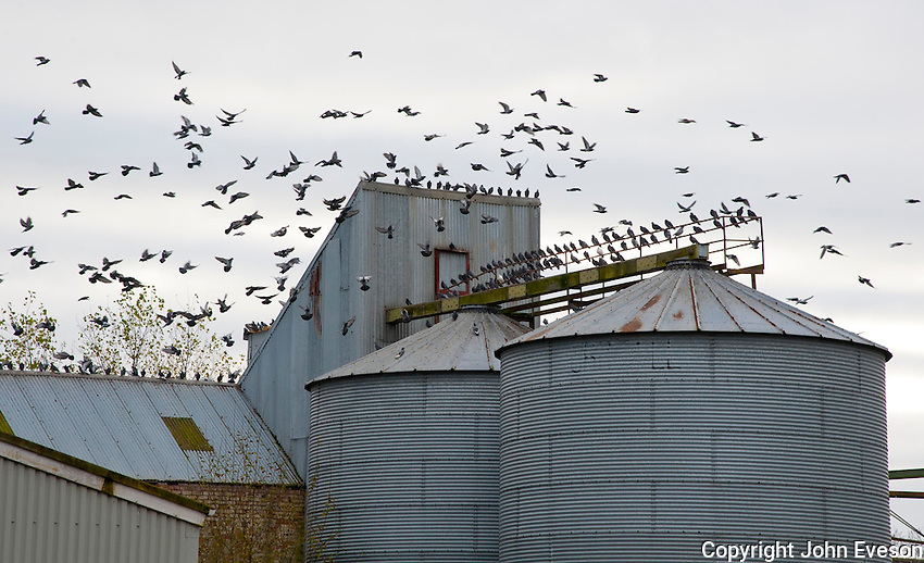 Pigeons on and flying round metal grain silos at Grange, Perth and Kinross, Scotland.