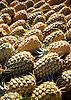 Freshly harvested Maui Gold pineapples. Photo by Kevin J. Miyazaki/Redux
