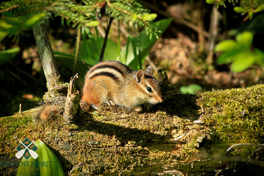 &quot;Eastern Chipmunk&quot;<br /> <br /> The mischievous chipmunk is a common forest animal that delights many hikers and campers in the northern woods.