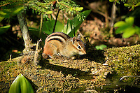 """Eastern Chipmunk""<br />