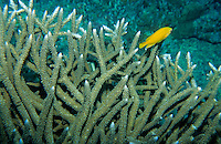 Bright yellow tropical fish swimming around acropora coral.