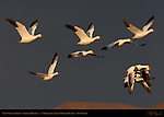 Snow Goose in Flight at Sunrise, Stormy Morning, Bosque del Apache Wildlife Refuge, New Mexico