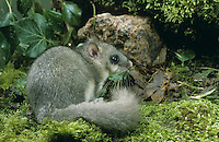 Siebenschläfer, Glis glis, edible dormouse, edible commoner dormouse, fat dormouse, squirrel-tailed dormouse, Schläfer, Bilch, Bilche