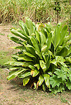 Hawaii: Molokai, Halawa Valley, ti plant, seen during hike in past taro fields, ancient walls, to waterfalls, guided by Lawrence Aki..Photo himolo233-72014..Photo copyright Lee Foster, www.fostertravel.com, lee@fostertravel.com, 510-549-2202
