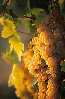 Europe/Italie/Ombrie/Env de Civitella del Lago : Raisin dans le vignoble