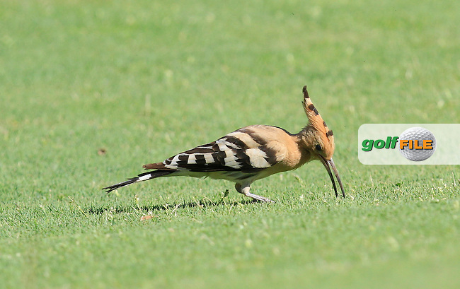 Wildlife on the 5th during Round 2 of the Open de Espana  in Club de Golf el Prat, Barcelona on Friday 15th May 2015.<br /> Picture:  Thos Caffrey / www.golffile.ie