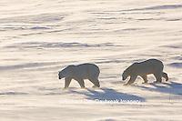 01874-14219 Polar Bears (Ursus maritimus)  in Cape Churchill Wapusk National Park,  Churchill, MB Canada