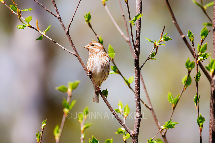 Female house finch on white birch branches in spring.
