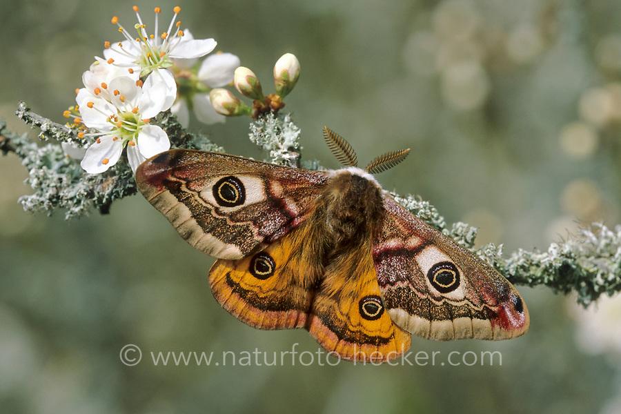 Kleines Nachtpfauenauge, Männchen, Saturnia pavonia, Eudia pavonia, Pavonia pavonia, Small Emperor Moth, male, Le Petit paon de nuit, Saturniidae