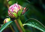 Close view of a wasp on a pink peony bud in a garden in North Carolina