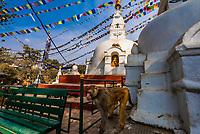 A macaque monkeyat the Swayambhunath Stupa. The temple sits atop a hill west of Kathmandu, Nepal.