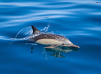 long-beaked common dolphin, Delphinus capensis, bow-riding, Isla del Carmen, Loreto Bay National Park, Baja California Sur, Mexico, Gulf of California, Sea of Cortez, Pacific Ocean