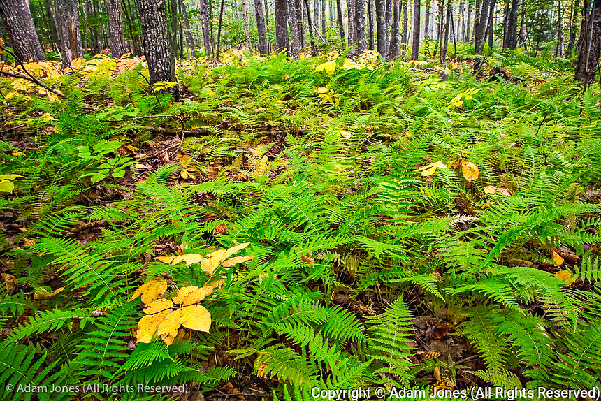 Ferns on forest floor, Sieur de Monte Springs Area, Acadia National Park, Maine