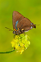 345190001 a wild great purple hairstreak altides halesus feeds on wild mustard wildflowers in southeast regional park in austin texas