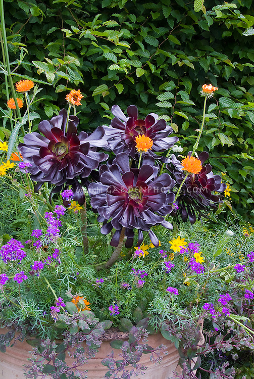 Aeonium, Verbena, Calendula, Coreopsis, Sedum in pot container garden, purple succulent foliage set off by bright orange, yellow flowers, and leaf greens.
