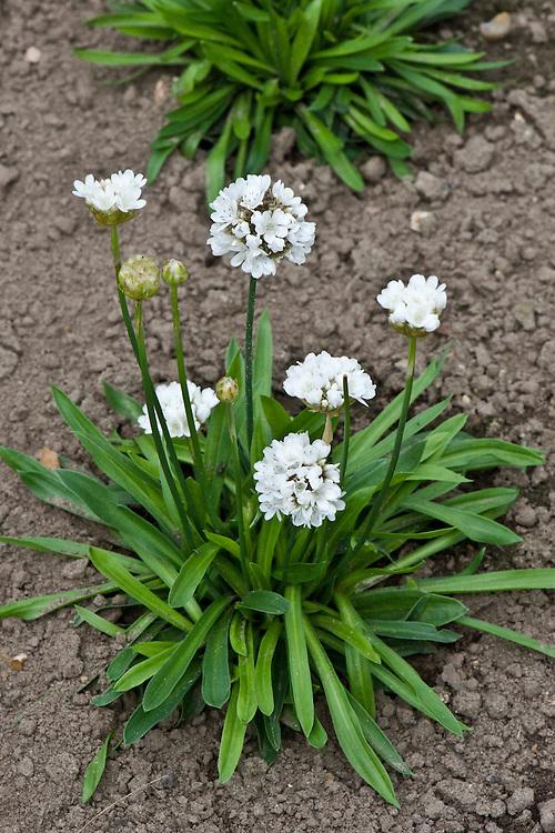 Armeria pseudarmeria 'Ballerina White', mid August.' (syn. A. latifolia and A. atrosanguinea of gardens). An evergreen subshrub native to the coast of western Portugal.