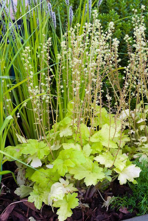 Heucherella Gold Strike in flower
