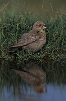 Brown-headed Cowbird, Molothrus ater, young bathing, Lake Corpus Christi, Texas, USA, May 2003