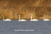 00759-00305 Four Tundra Swans (Cygnus columbianus) in wetland at Prairie Ridge State Natural Area, Marion Co., IL