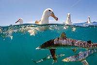 shy albatros, Thalassarche cauta, swimming with blue sharks, Prionace glauca, Cape Point, South Africa