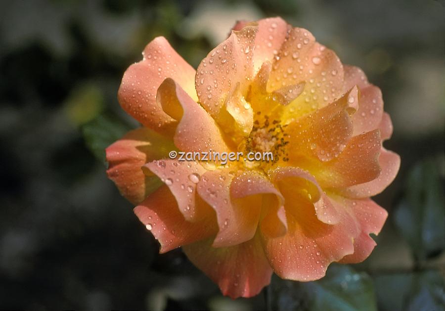 Bridal Pink yellow, Hybrid Tea Rose, genus Rosa