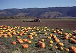 pumpkin field in Bolinas, CA
