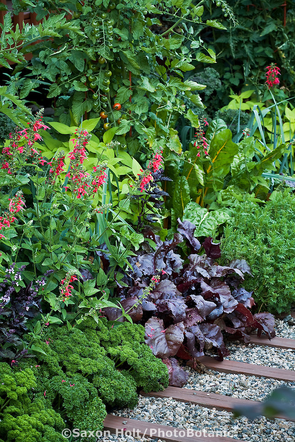 Ornamental vegetable garden with Parsley (Petroselinum crispum), Beets 'Bull's Blood', chard 'Golden', Tomatoe 'Sweet 100' and Salvia 'Lady in Red'