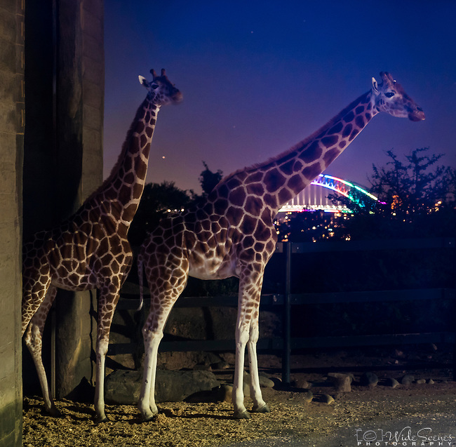 Giraffes at Taronga Zoo enjoying the view  of Sydney Harbour Bridge during the 2016 Vivid Light Festival