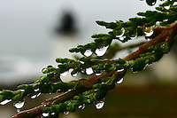 Raindrops dangle from a branch, some holding tiny lighthouses at the Point Montara Light Station.